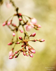 Spring makes your Happiness Sparkle (barbara_donders) Tags: natuur nature spring lente pink roze bloesem blossom buds bloemknoppen bokeh macro mooi beautiful magisch magical prachtig