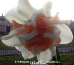 Daffodil (double) in pot on balcony railings (Close up) 26th March 2019 002 (D@viD_2.011) Tags: daffodil double pot balcony railings close up 26th march 2019