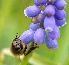 honey bee on grape hyacinth - further batch 4/4 (conall..) Tags: blue grape hyacinth muscari armenicum grapehyacinth bluegrapehyacinth muscariarmenicum nikon afs nikkor f18g lens 50mm prime primelens nikonafsnikkorf18g closeup raynox dcr250 macro rowallane national trust saintfield walled garden northernireland bee honeybee apis mellifera apismellifera pollination flower
