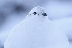 Ptarmigan ( female ) (Ally.Kemp) Tags: female winter scottish scotland aviemore ski center grouse white winner christmas eve snow plumage