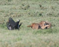 Caracal fighting off Golden jackal. (Mark Vukovich) Tags: caracal fight golden jackal stork abdims ngorongoro crater tanzania