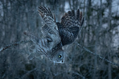 Great Grey Owl in flight while hunting (dwb838) Tags: greatgrayowl flight forest