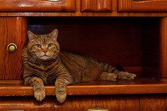 Cat in the buffet (Siggital) Tags: cat katze kitteh kadse luna britishshorthair kitty grumpy funny furry caturday everydayiscaturday