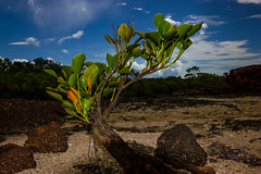 Mangrove Tree (Markus Branse) Tags: mangrovetree eastpointbeach eastpoint darwin northernterritory australia australien strand beach natuur nature natur baum tree trees bäume baeume pflanze plant plants flower flowers aussie oz sand