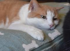 Otis (rootcrop54) Tags: otis dilute orange ginger tabby male masked dogbed pillow mellow neko macska kedi 猫 kočka kissa γάτα köttur kucing gatto 고양이 kaķis katė katt katze katzen kot кошка mačka gatos maček kitteh chat ネコ