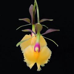 "2019-01-14 x Epidendrum ""Plastic Doll"" - BG Teplice (beranekp) Tags: czech teplice teplitz botanik botany botanic herbarium herbary herbář garden garten flora flower plant orchidea epidendrum"