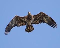 Immature American Bald Eagle (Mark Schocken) Tags: haliaeetusleucocephalus baldeagle eagle raptor markschocken