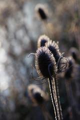 River's Edge (Hugobian) Tags: teasel teasle flora nature light sun frost ice backlight macro fairlands valley stevenage pentax k1 lake