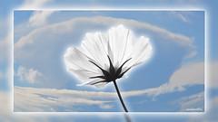 Flower in the sky (andantheandanthe) Tags: creativity creative closeup close up macro trix photoshop adobe kreativitet kreativ närbild makro kreative nahaufnahme der kreativität nahes hohes makrotix créativité gros plan fine creativa del primo piano di creatività sulla tobe creatividad primer plano flower white sky clouds blomma vit himmel moln weise himmelwolken blume fleur ciel blanc nuages nuvole bianche fiori flor blanca cielo nubes