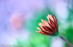 Expecting (frederic.gombert) Tags: light orange pink color bloom blossom winter flower garden macro nikon