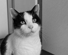 Patience? (Siula85) Tags: patience cat blackandwhite felix kitchen fujixt1 fujinonxf18135mm kazgreen siula85 2019 projectsunday