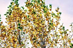 Changing Leaves (pmorris73) Tags: arboretum pennstateuniversity statecollege pennsylvania century 2cb1419 3cb1519 4cb1619 5cb1719 6cb2019 7cb2519 8cb2719 9cb2719 1kc1019