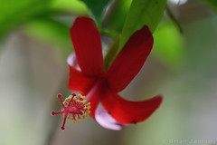 Hawaiian Hibiscus (Bri_J) Tags: butterflyhouse greenhouse copenhagenbotanicalgarden botaniskhave universityofcopenhagen copenhagen denmark københavn danmark hawaiianhibiscus hibiscus flower red hibiscuskokio