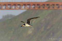 Black Skimmer with Golden Gate Bridge (Bob Gunderson) Tags: aerialwaterbirds birds blackskimmer california northerncalifornia presidio rynchopsniger sanfrancisco waveorgan
