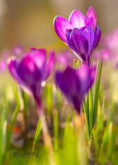 Frühlingsluft (Tim E. aus B.) Tags: frühling spring springtime flowers flora blumen krokuss crocuss warm nature natur