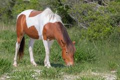 Assateague Island Pony (astrochemist2003) Tags: assateague stae park pony horse campgrounds grazing