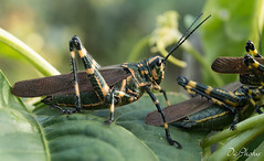 DSC_5522 (DigiPhotus) Tags: digiphotus gafanhoto insect insetos insectos inseto insekt insecte insetto insekten insekte insekter insectes insecten insektet insetti izimbali serracatarinensebrasilamérica painel macro macrodreams