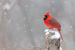Northern Cardinal (miketimmonsphoto.com) Tags: mike timmons aba indiana bird nature willdlife cardinal miketimmons
