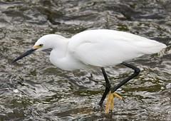 Snowy Egret (barbmerrill2) Tags: bird egret egrettathula celeryfields sarasota florida