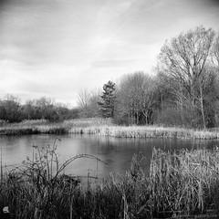 Film Photography: Wetlands Pond (YLM_0035) (masinka) Tags: etbtsy film analog photography bw blackandwhite monochrome square 120 yashica lm fomapan 400 kodak xtol timeless landscape nature outdoors orchardpark buffalo ny newyork winter pond light bright water ice lake swamp wetlands birdsong park