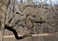 "Male Mallard in flight 2 • <a style=""font-size:0.8em;"" href=""http://www.flickr.com/photos/30765416@N06/33591933668/"" target=""_blank"">View on Flickr</a>"