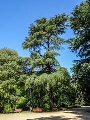 cedro arboles jardin del parque Campo del Moro Madrid (Rafael Gomez - http://micamara.es) Tags: campodelmoro esp españa madrid cedro arboles jardin del parque campo moro