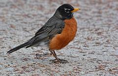 An American Robin (kendoman26) Tags: americanrobin bird hss happyslidersunday nikon nikond7100 nikkor80400 topazdetail