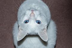 Angelo (Lynn Tweedie) Tags: blue whiskers meow sigma150600mmf563dgoshsm cat eye canon white 7dmarkii animal