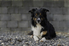 Stone wall (Flemming Andersen) Tags: dog bordercollie yatzy