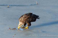 Ice Fishing (Lidija Kamansky) Tags: eagle baldeagle bigtwinlake washingtonstate ice frozen methowvalley bird birds wildlife birdofprey juvenilebaldeagle