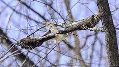 Épervier de Cooper /Cooper's Hawk (richard.hebert68) Tags: nikon z7 300mmf4pf epervier arbre forêts bleu ciel canada domainemaizerets québec