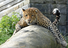 Javanese leopard - Pairi Daiza (Mandenno photography) Tags: animal animals javanese leopard bigcat big cat ngc nature natgeo natgeographic belgie belgium pairi daiza pairidaiza leopards zoo