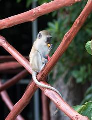 Lunch by the pool (garryfowle) Tags: vervet monkey chlorocebuspygerythrus kenya africa wildlife mammal lunch eating mombasa