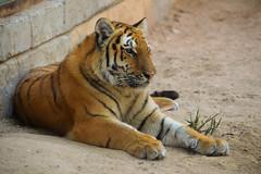 Siberian Tiger (Panthera tigris altaica) (Seventh Heaven Photography) Tags: siberian tiger panthera tigris altaica pantheratigrisaltaica emirates park zoo united abab abudhabi nikond3200 animal mammal carnivore felidae amur manchurian korean ussurian