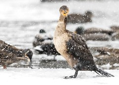 I Hate Snow! (Karen_Chappell) Tags: bird nature winter january cold snow snowy snowing storm stormy park animal cormorant white brown birds ducks outdoors nfld newfoundland stjohns bowringpark canada avalonpeninsula atlanticcanada eastcoast weather bokeh