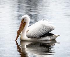 Lake Balboa and Sepulveda Basin Wildlife Preserve - February 2019 (morrisonbrett) Tags: americanwhitepelican bird vannuys california unitedstatesofamerica us