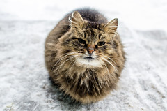 Domestic fluffy cat in winter (ivan_volchek) Tags: angry animal animals beautiful cat cold curious cute domestic ears eyes feline fluffy freezing friend fur gray hair hatred homemade kitten looking mammal outdoors pet pets portrait sit small snow soft tail weather white winter