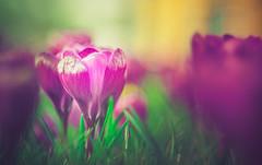 Crocus (Dhina A) Tags: sony a7rii ilce7rm2 a7r2 a7r diaplan 80mm f28 meyeroptikgörlitzdiaplan80mmf28 meyeroptik meyer optik görlitz prime tmount diy manuallens projectionlens fixedaperture trioplanfamily triplet bokeh crocus spring flower