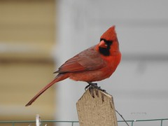 Male Cardinal (Anton Shomali - Thank you for over 2 million views) Tags: color red male malecardinal northernmalecardinal macro light nature outside beauty beautiful black seeds january bird cardinal hungry cold season winter midwest northern snow birds house backyard green yellow white flacks tree food wood nikon coolpix p900