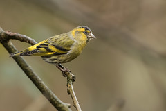 Siskin (drbut) Tags: siskin carduelisspinus finch finches avian trees farmland bird birds wildlife nature canonef500f4lisusm