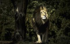 King of the Jungle (m_hamad) Tags: nature naturebeauty greatnature explore nationalgeographic farm dazzlingshot wildlife beauty canon usa 7dmkii dc blinkagain ultimateshot supershot nationalzoo nationalzoodc smithsoniansnationalzoo zoo washington washingtondc washdc wash lion kingofthejungle king 70200mmf40