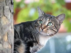 Who is it? (Engin Süzen) Tags: cat catportait cats catmoments catportrait gat gato gatto kedi animal animals olympus olympusem1markii olympusomdem1markii m43 m43turkiye