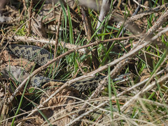 My first Adder of 2019 (ukmjk) Tags: adder cannock chase staffordshire reptile nikon nikkor d500 300mm f4 pf tc14e2