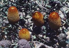 Banksia audax, Kings Park, Perth, WA, 22/12/94 (Russell Cumming) Tags: plant banksia banksiaaudax proteaceae kingspark perth westernaustralia