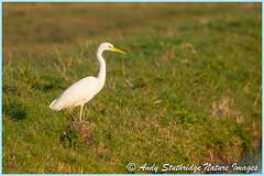 Great White Egret in Evening Light (www.andystuthridgenatureimages.co.uk) Tags: egret great white heron field riverbank water stream dyke somerset uk somersetlevels grass evening winter light warm