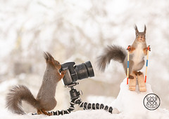 Red squirrel standing on skis another behind an camera (Geert Weggen) Tags: squirrel camera red animal backgrounds bright cheerful close color concepts conservation culinary cute damage day earth environment environmental equipment love valentine photo winter snow openmouth ski sport wintersport bispgården jämtland sweden geert weggen hardeko ragunda
