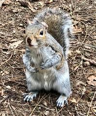 """Grey squirrel at Center Parcs Elveden in Suffolk (baldychops) Tags: """"centerparcs"""" suffolk spring """"elvedenforest"""" forest elveden vermin outdoor nature animal """"greysquirrel"""" squirrel"""