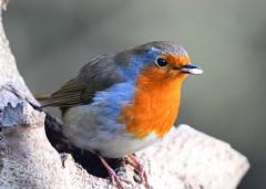 Robin (gillybooze (David) Off Sunday) Tags: ©allrightsreserved teleconverter14 bird robin birdwatcher dof outdoor bokeh wildlife outside tree feathers wild 600mmlens