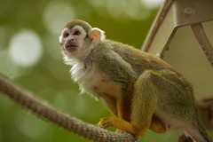 Squirrel Monkey (M424Photography) Tags: squirrel monkey small tiny orange yellow brown white primate nature natural outdoor outdoors wildlife
