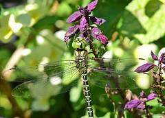 Green on purple (dina j) Tags: floridawildlife florida wildlife dragonfly bug insect outdoors nature animal nikon nikond7200 flower